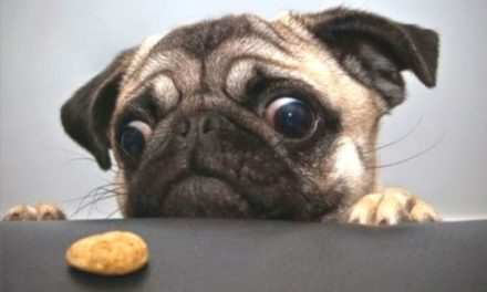 Top 10 Cute And Funny Pug Videos Compilation    NEW HD