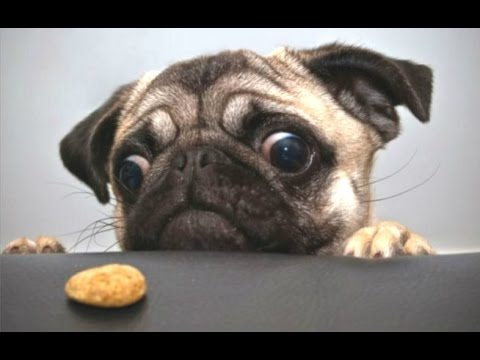 Top 10 Cute And Funny Pug Videos Compilation || NEW HD