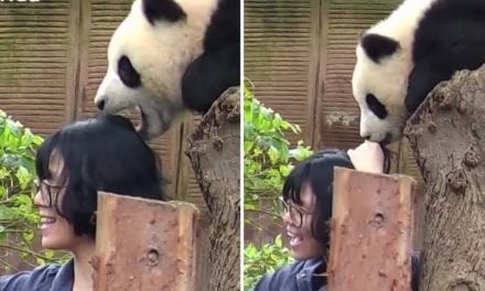 Adorable Panda Can't Stop Eating Woman's Hair After She Tries To Take A Selfie With Him