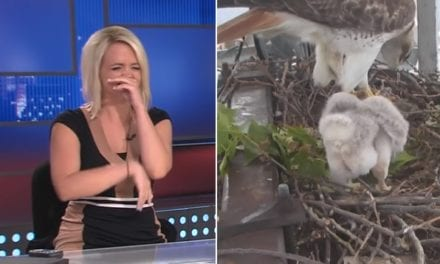News Anchors Crack Up Uncontrollably Watching Baby Hawk Poop On Live TV
