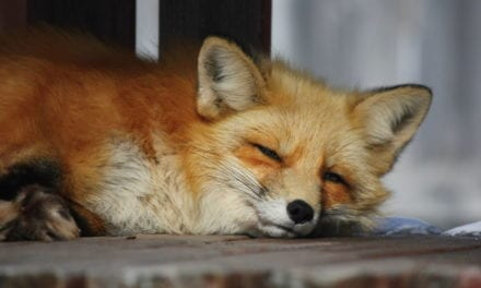 Photographer Captures Stunning Shots Of Zorro The Fox Who Has Been Visiting Him For The Last 3 Years!