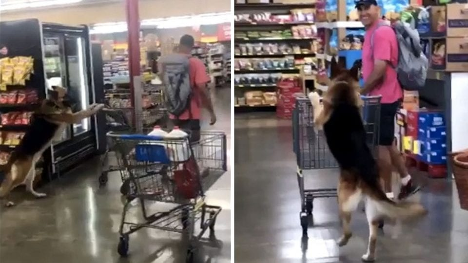 Rescue German Shepherd Shops For Grocery And It's The Cutest Thing You'll See All Day
