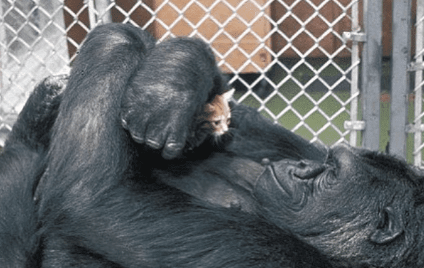 Recalling Koko: A Gorilla as well as the Story of Her Dog Cat 'All Ball'