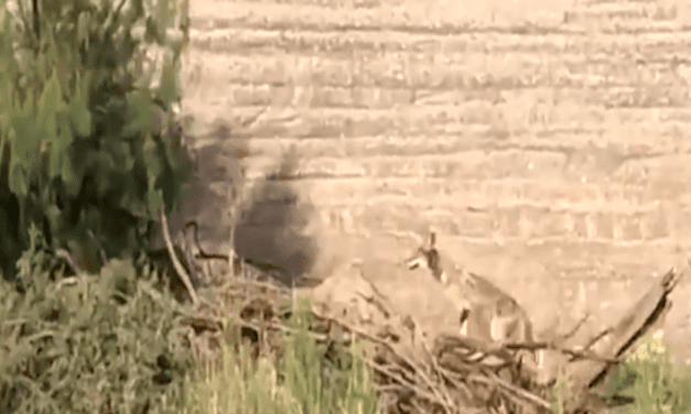 Open up Post: Hosted By A Actual life Coyote Chasing A Roadrunner