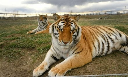 'Tiger King': Where Are All the particular Tigers From the G. Watts. Zoo Now?