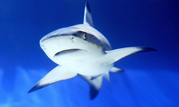 The particular Surprising Reason Why Sharks Strike in Shallow Water