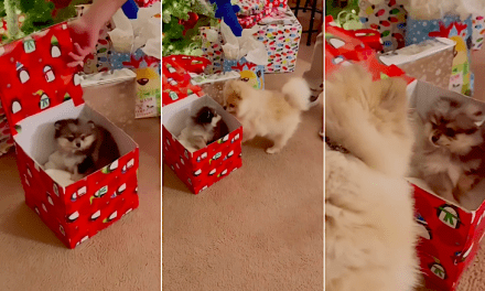 Open up Post: Hosted By Hot cake The Pomeranian Getting A Brand new Little Brother For Xmas