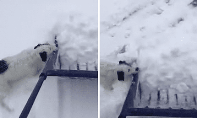 """Open up Post: Hosted By The Small Doggy Who """"Helped"""" Their Human Shovel Snow"""
